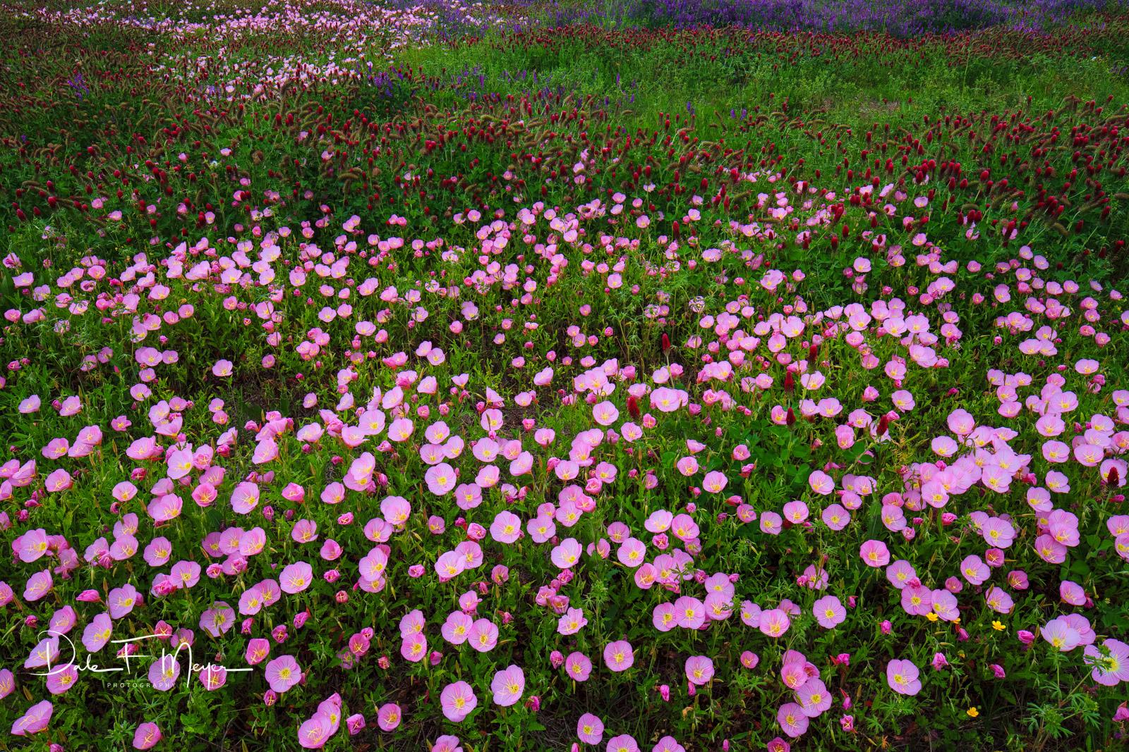 North Arkansas,Showy Evening Primrose,blue bells,crimson clover,flowers,spring 2012,wildflower meadow, photo
