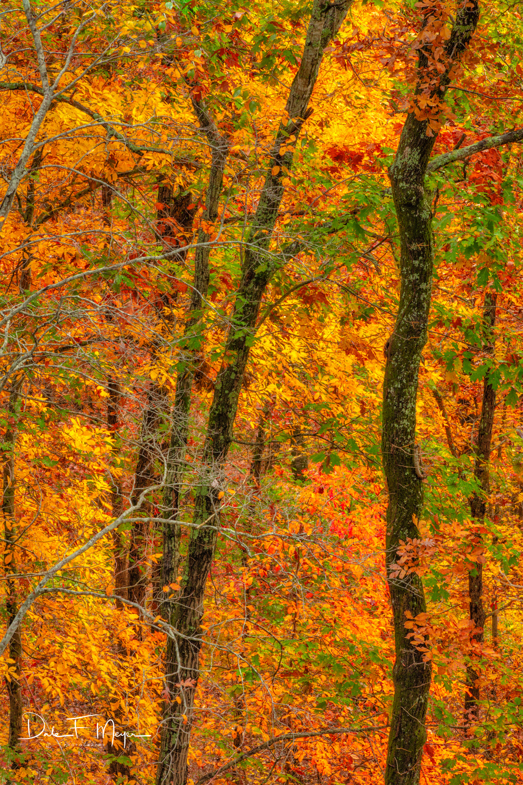 The brilliance of fall from filtered light into the forest on a peak fall day in the Ozark National Forest Arkansas.
