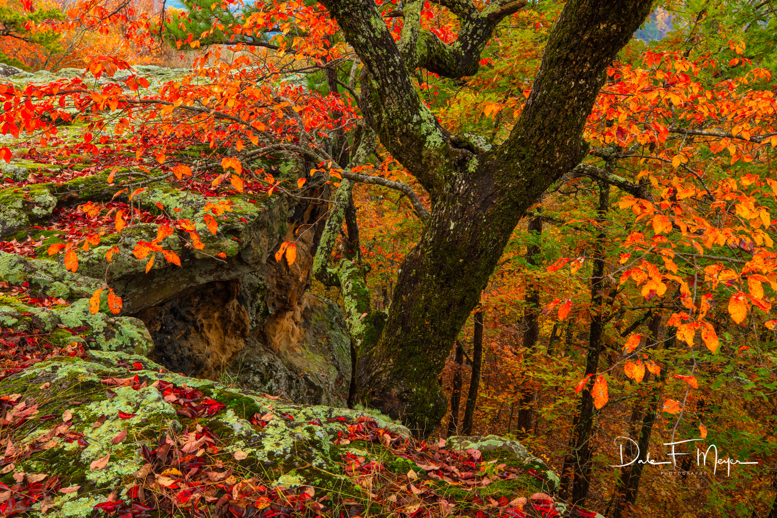 A beautiful Gum Tree in full fall color that grew up along the bluff at the Pedestal Rock Area in the Ozark National Forest Arkansas...