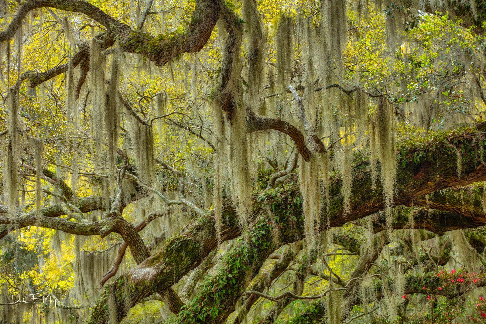 Live Oak Tree Limbs and Spanish Moss, Magnolia Plantation South Carolina, photo