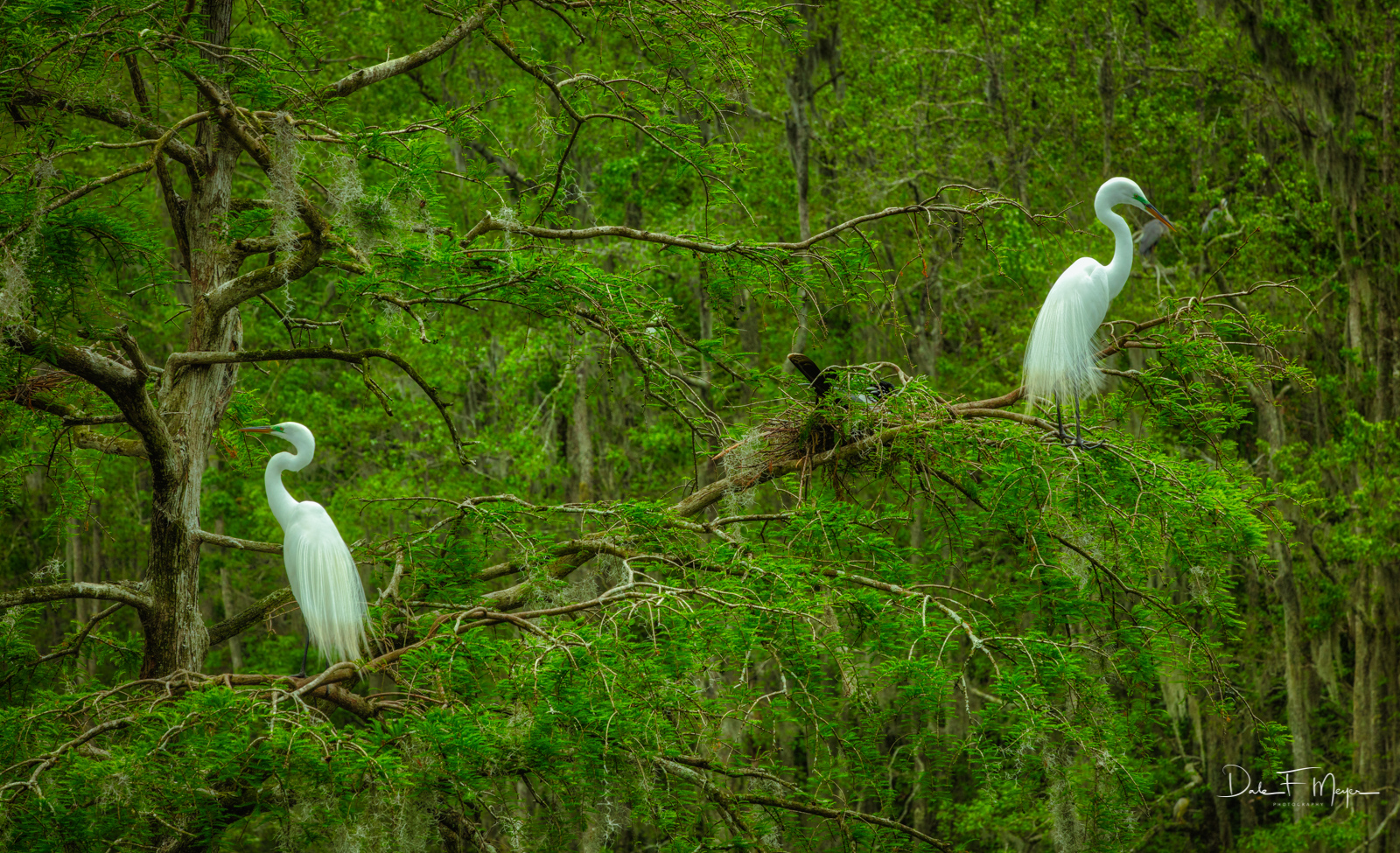 Ace Basin South Carolina, Southern Places Gallery, Great Egrets, photo